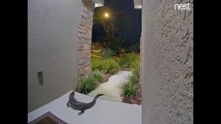 Unexpected Alligator Visitor