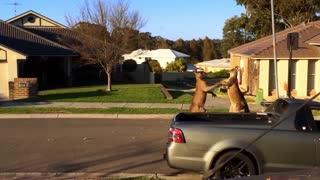 Kangaroos Fighting in Australian Street