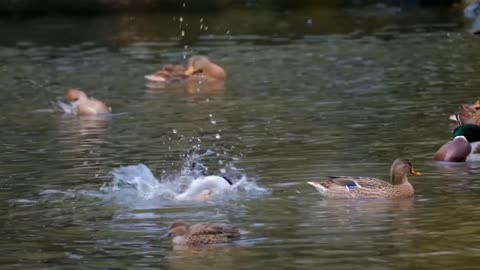 Ducks flipping in the water