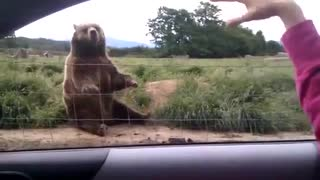 Bear saying goodbye to girl
