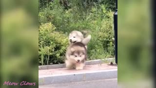Baby Alaskan Malamute Cutest and Funniest Moments New Compilation | Amazing Videos