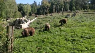 Brown Bears in Zoo Safari