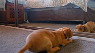 a cute dog fights with mirror