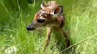 fawn trying it's first step