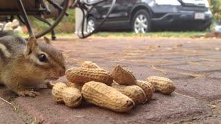 Cute Chipmunk Eating Peanuts- One Minute Video