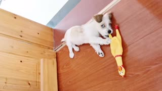 Lindo perrito jugando con un pollo gritando