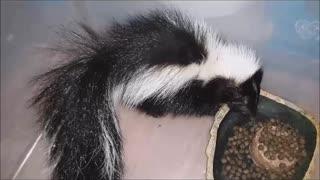 Baby Skunk Rescue, Part II