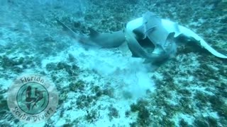 Never Seen In The Wild...Nurse Shark Mating capture by local Florida