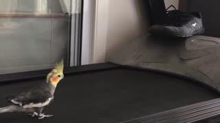 Cheddar the Running Cockatiel