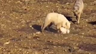 rabbit tries to escape attack, but fails