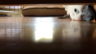 Peek-a-Boo with a Cockatoo