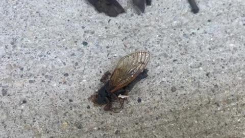 Brood X Cicadas, Indianapolis June 11, 2021