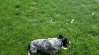 Dog Attacks Bubbles