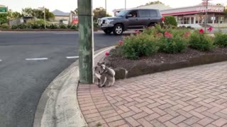 Koala and baby walking down a suburban street