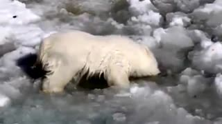 Cub polar bear swimming in the first attempt