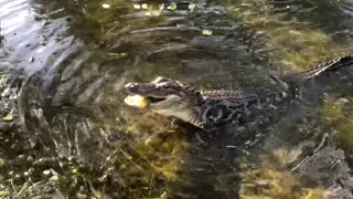 Alligator Crunches a Fish