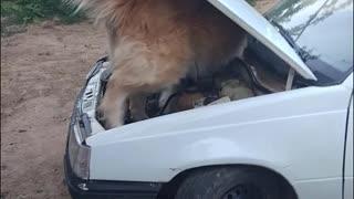 My dog tries to fix a car
