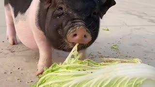Vegetables eating pig