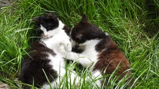 two black and white cat