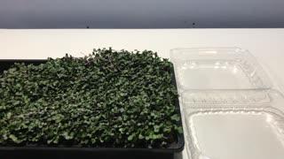 Microgreens Harvest