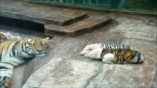 Nature always finds a way: Tigress adopts little pigs in a beautiful gesture
