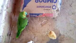 Fight between a chick and a parrot, watch until the end