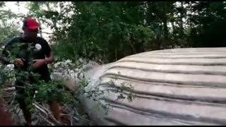 Encuentran una ballena jorobada muerta en un manglar de la Amazonía