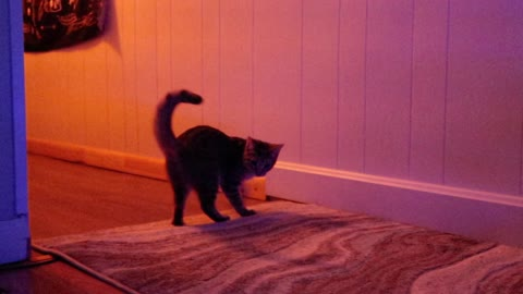 Kitten Chases Her Tail!