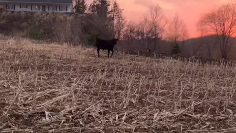 Three legged Herding Dog
