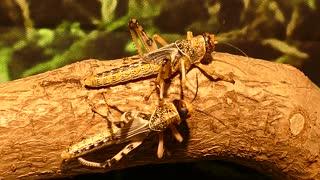 Brown Grasshopper !