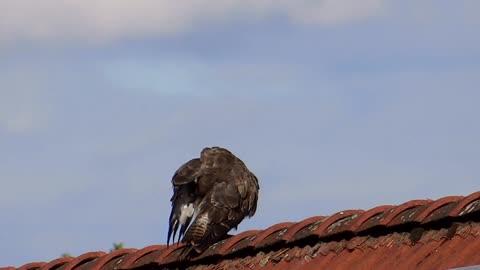 Wiki Black Bird On Friend House Roof
