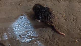Saving a Rat Stuck in Hotel Swimming Pool