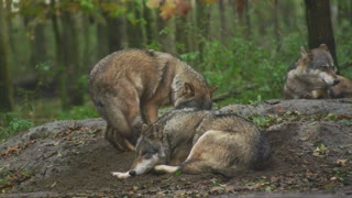 Wolves are carnivores