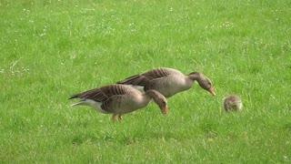 Baby ducklings in Morning Family Breakfast