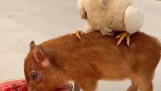 Big cock bullies little black pig