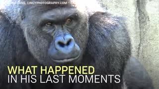 Gorilla With Baby
