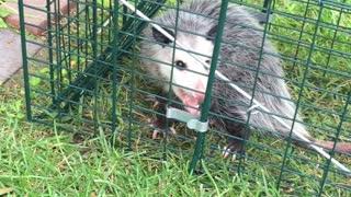 Caught a possum