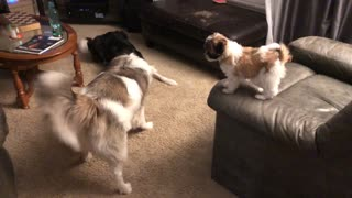 Dogs Play with Puppy