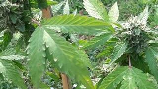 Micro medical marijuana grow