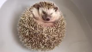 Floating hedgehog really enjoys bath time