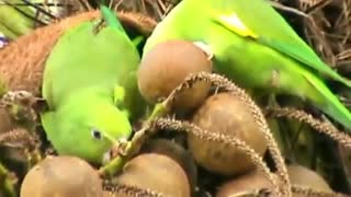 Couple Of Birds Eating Coconut Together