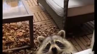 Baby panda having some cookies 🤩🤩