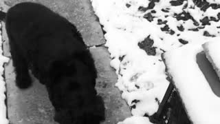Dog catches snowball in mouth - slow mo