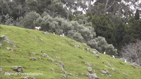 Baby Lamb cute video