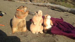 """Prairie dog enjoys day at the beach with """"friends"""""""
