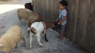 A small child feeds sheep and goats
