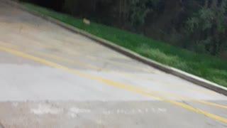Cat fight beside drive thru