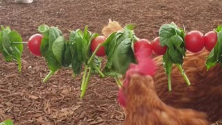 Chicken Flock Eating Vegetables Threaded on Wire