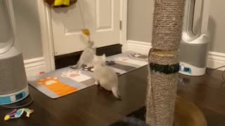 4 Adorable Scottishfold Kittens playing partying