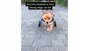 Best Dog Without Back Legs _ Lives Normal Life _ #motivation _ #Shorts